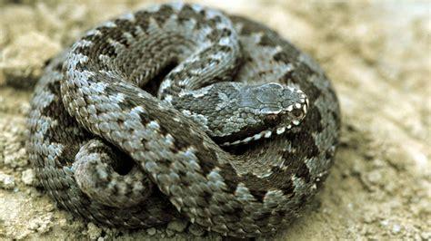 Welche Bilder by Schlangen Heimische Schlangenarten Reptilien Und