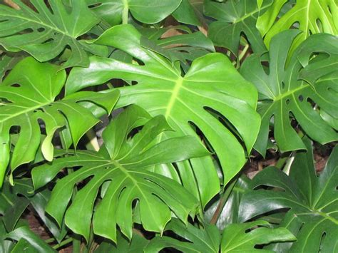 gallery elephant tree leaf