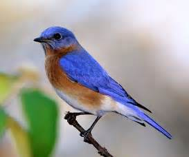 indigo bunting identification all about birds cornell lab of ornithology