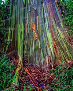rainbow tree multi colored bark of a rainbow eucalyptus tree in