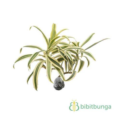 Stek Batang Kambojajepunplumeria Kode Jb08 tanaman song of india jual tanaman hias