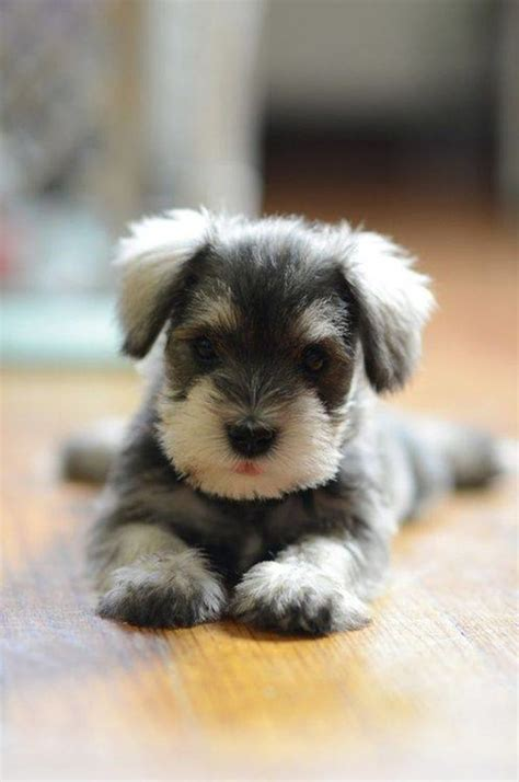 schnauzer puppy 12 reasons why you should never own schnauzers