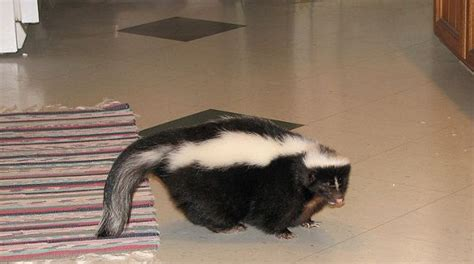 i am crowdsourcing the problem of the skunk that lives