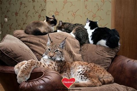 adopt a pet bobcat needs a home insidehalton com domestic lynx is it possible to have this big cat at home