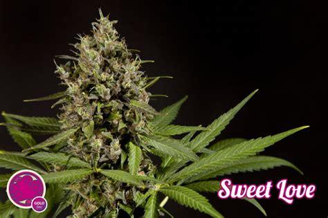 sweet love philosopher seeds bank