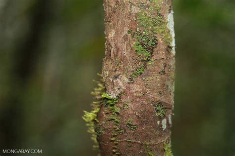Southern Leaf-tail Gecko (Uroplatus sikorae) [madagascar_0696]