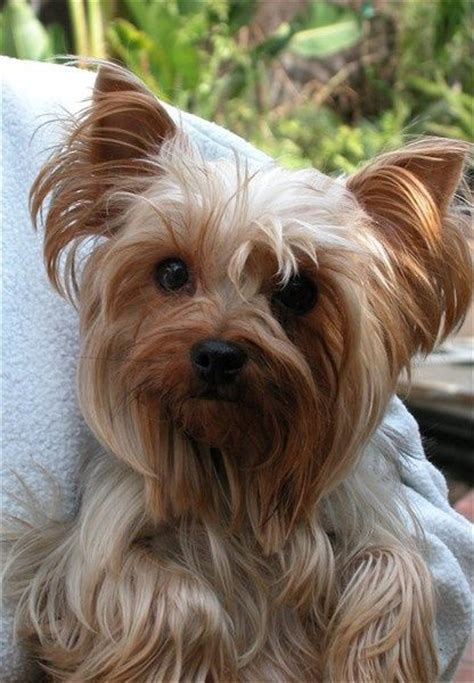 yorkie hypoallergenic 17 best images about hypoallergenic dogs on poodles portuguese water