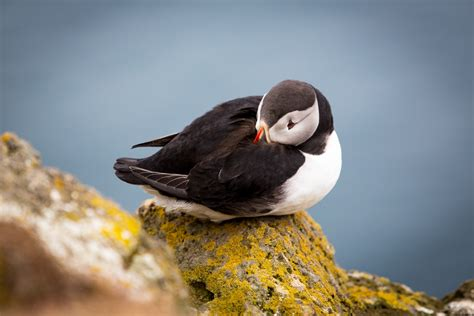 best places to see puffins in iceland where to see