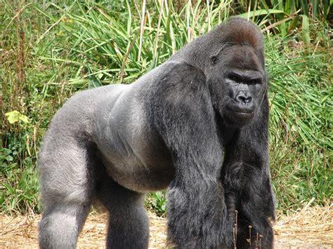 Gorilla - Amaxing