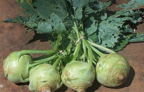bitter root vegetable veggie asia kohlrabi