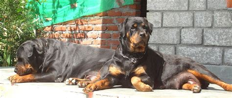 rottweiler puppies price rottweiler puppy price