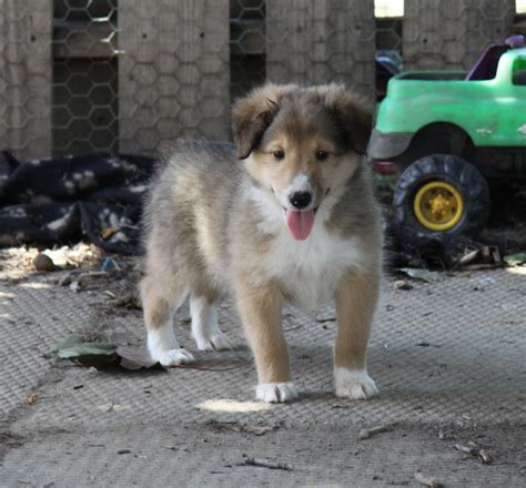 shetland sheepdog puppies for sale shetland sheepdog sheltie puppies for sale puppies for sale dogs for sale in