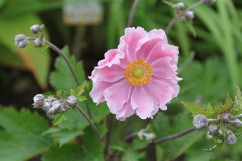 anemone hupehensis september charm perennials that
