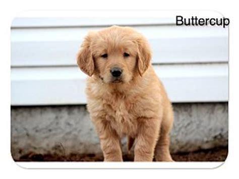 golden retriever puppies for adoption in california elk grove ca golden retriever meet buttercup a puppy for adoption