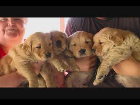 golden retriever 5 weeks golden retriever puppies for sale 5 weeks