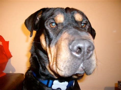 rottweiler shar pei mix pit bull mix with chow chow breeds picture