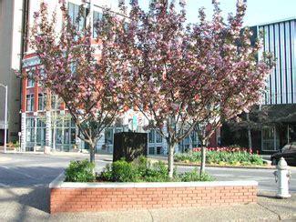 cherry tree corporate center kwanzan cherry