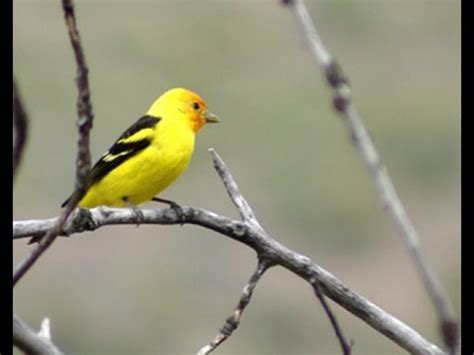 tanager bird watching in the desert youtube