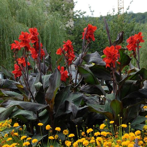 Home Decor Red Deer by Bloomsz Black Knight Canna Roots 5 Pack 06223 The Home