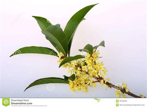 fiori di osmanto fiori di osmanto fotografia stock immagine 45402609