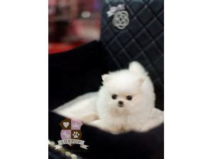 snow white pomeranian puppies sale canada for sale puppies for sale