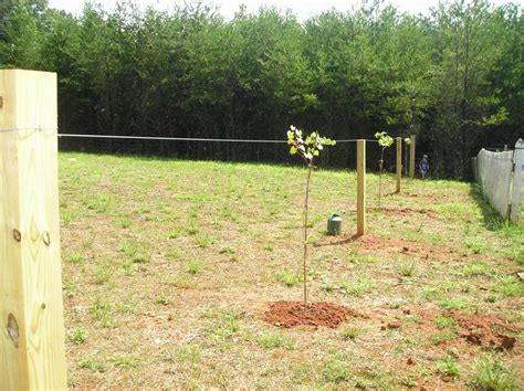 how to trellis plant and prune muscadine vines new life on a homestead homesteading blog