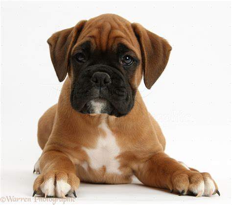 boxer puppies boxer puppy photo wp38166