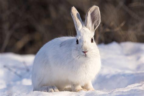 snowshoe images snowshoe hare dave doe flickr