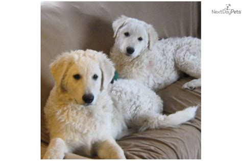 kuvasz puppies kuvasz puppy for sale near helena montana eb03317b beb1