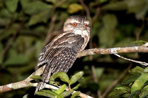 marbled frogmouth [bushpea 6/13]