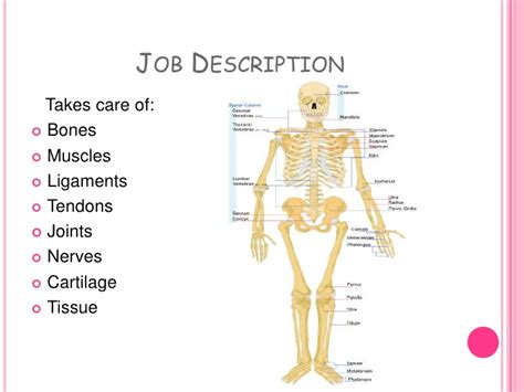 Orthopedic Surgeon Description by Orthopedic Surgeon Powerpoint