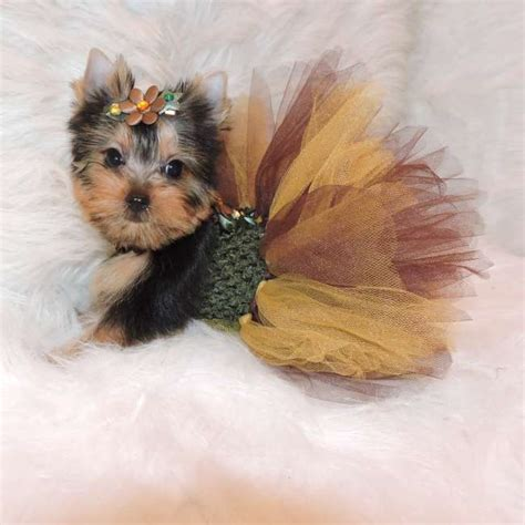 miniature teacup yorkies terrier puppies for sale terrier for sale rachael edwards