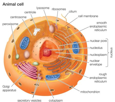 printable animal cell animal cell diagrams labeled printable diagram site