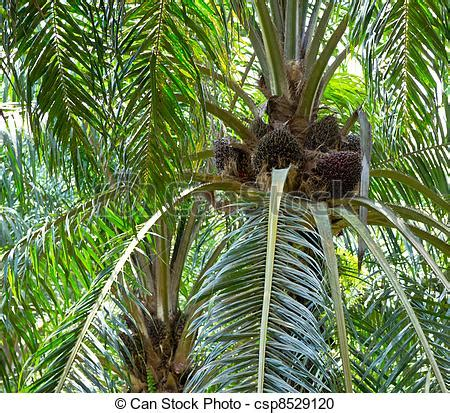 stock photography of oil palm tree nut clusters at the