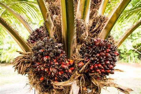 Le Palmier palmier 224 huile