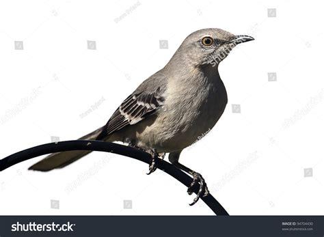 northern mockingbird mimus polyglottos on perch stock