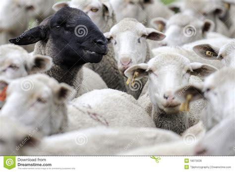 imagenes ovejas negras blancas una oveja negra entre las blancas fotos de archivo libres