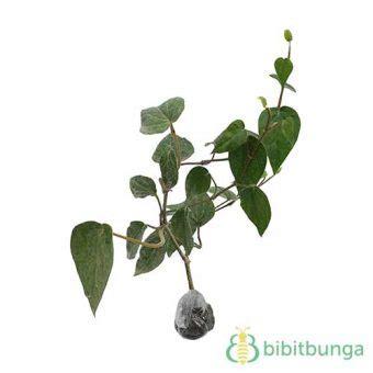tanaman sirih hijau