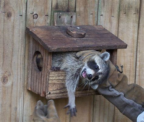 raccoon trapping raccoon removal information