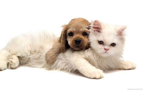 wallpaper cat and dog hd cats and dogs desktop wallpapers hd and wide wallpapers