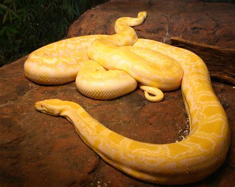 Korek King Yellow Ular Plus Asbak top 10 most beautiful snakes on earth