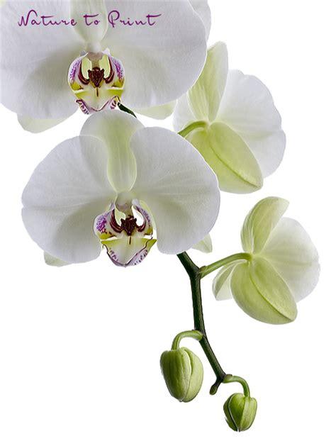 orchideen gestell orchideenbild weisse phalaenopsis freigestellt auf weiss
