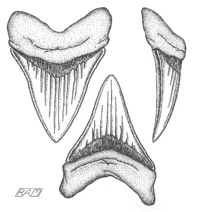 Megalodon Shark Teeth Coloring Pages Megalodon Shark Coloring Pages
