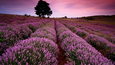 tapete lavendel scenery wallpaper wallpaper lavender