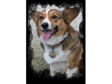 corgi puppies for sale in ga pembroke corgi puppies in
