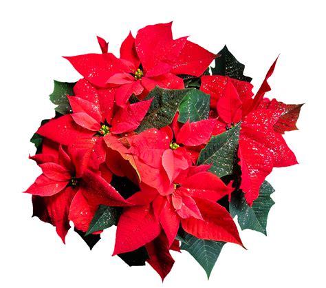 christmas plants florida friendly holiday plants hernando sun