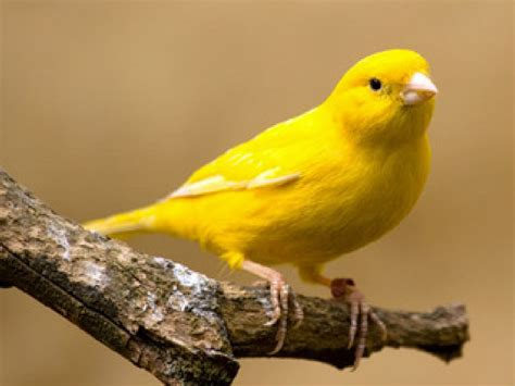 learn yellow bird online
