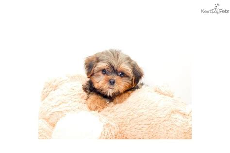 affordable shorkie puppies for sale mixed other puppy for sale near columbus ohio b1d76166 e161
