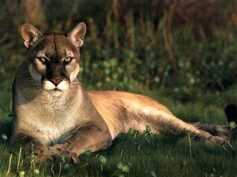el jaguar panthera onca mascotas taringa fotos del caracal fotos de tigres leones pumas leopardos