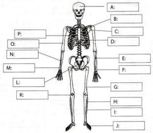 skeletal system diagram pdf skeleton at tusky valley high school studyblue